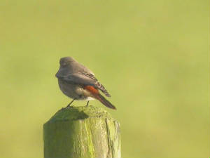 blackredstart_helvick_28oct2004.jpg
