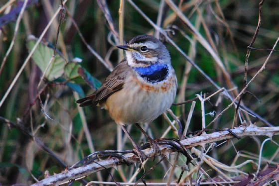 bluethroat1_clonea_am_05122011.jpg