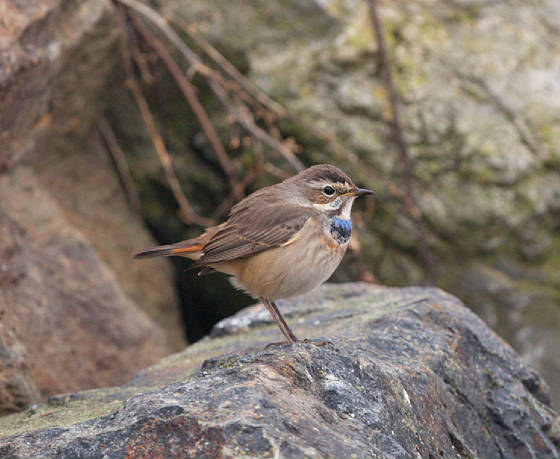 bluethroat2l_ballinclamper_21112011_gc.jpg