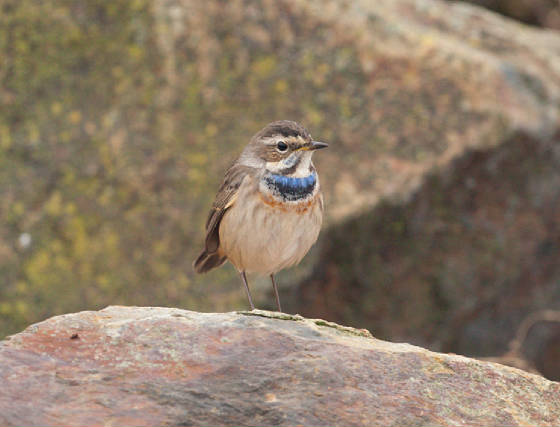 bluethroat4l_ballinclamper_21112011_gc.jpg