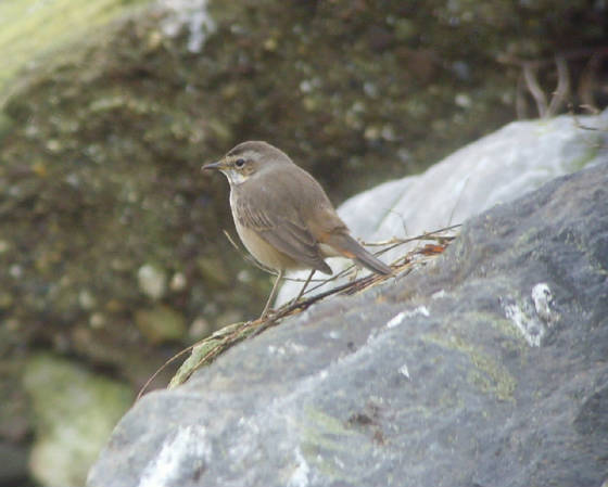 bluethroat_ballinclamper_20112011_mc_snv38422.jpg