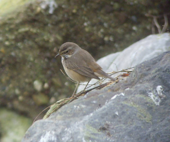 bluethroat_ballinclamper_20112011_mc_snv38425.jpg
