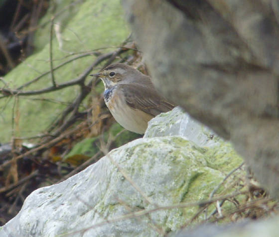 bluethroat_ballinclamper_20112011_mc_snv38436.jpg