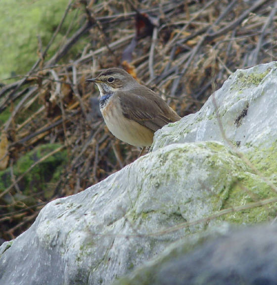 bluethroat_ballinclamper_20112011_mc_snv38444.jpg