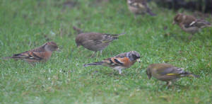 brambling_abbeyside_13012012_dc_img_4889_medium.jpg
