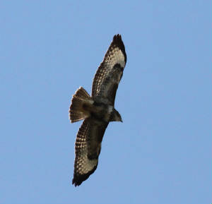 buzzard_14102013_dc_img_3323_medium.jpg