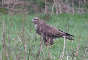 buzzard_eastwfd_dc_18012012_img_1051_medium.jpg