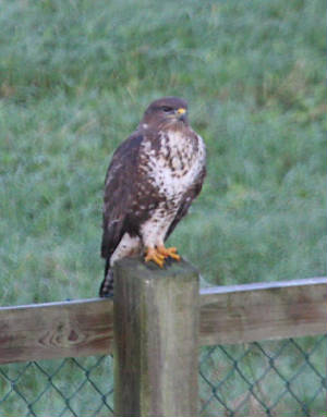 buzzard_ewat_0112011_img_1068_small.jpg