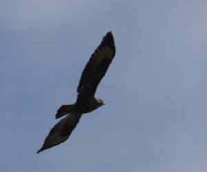 buzzard_ewfd_04102012_dc_img_7708_medium.jpg