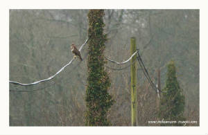 buzzard_ewfd_13012012_rz_mg_2986.jpg