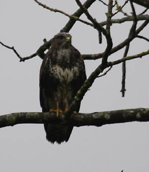 buzzard_wwfd_18102013_dc_img_8486_medium.jpg