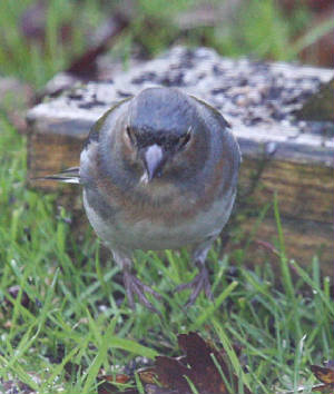 chaffinch_strandside_02112012_dc_img_9840_medium.jpg