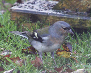 chaffinch_strandside_02112012_dc_img_9841_medium.jpg