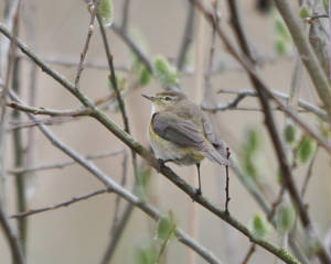 chiffchaff2_dunhillcastle_27032010.jpg