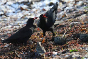 choughs_ballinclamper_28112010_img_1628_small.jpg