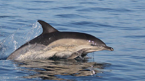commondolphin_westwat_06112011_img_2443_medium.jpg