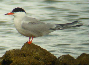 commontern_ballinard_19aug2006.jpg