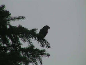 crossbill_nrlismore_oct2005.jpg