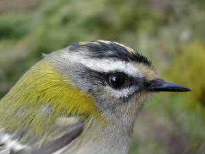 firecrest_1yf_brownstown_30oct2004_4.jpg