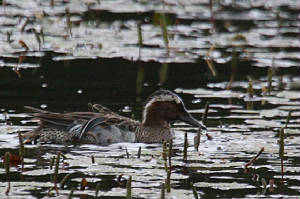 garganey_male_knockaderry_07062012_img_8152_small_dc.jpg