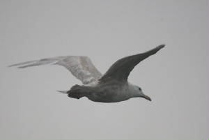 glaucous_boatstrand_dc_30012012_img_2622_medium.jpg