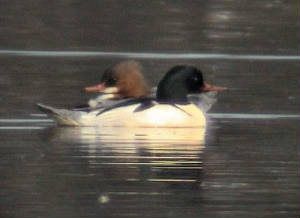 goosander_pair_dgvn_feb04.jpg