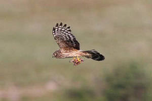 henharrier_ringtail_knockmealdowns_05072010_img_1664_small.jpg
