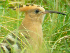 hoopoe_cunnigar_30sep2006_p1050495.jpg