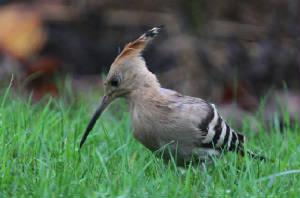 hoopoe_dungarvan_03102013_dc_img_7867_medium.jpg