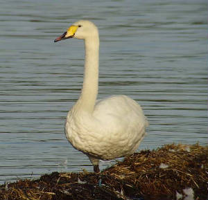 hybswan_knockaderry_13082009_snv33539.jpg