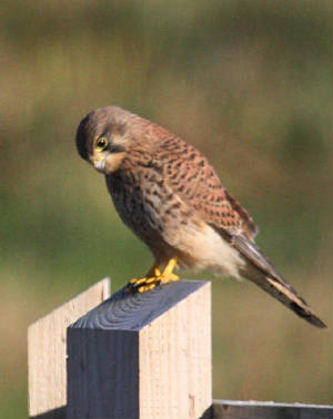 kestrel_03122012_dc_img_2599_medium.jpg