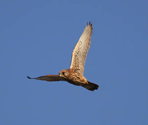 kestrel_ardmore_01012012_dc_img_9318_medium.jpg