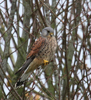 kestrel_nirevalley_15112012_dc_img_0706_medium.jpg