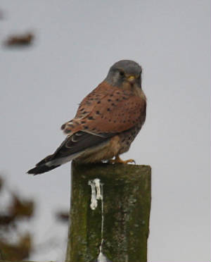 kestrel_nirevalley_26102012_dc_img_8920_medium.jpg