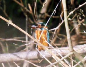 kingfisher_brickey_14022009_img_0466_small.jpg