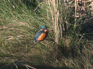 kingfisher_bunmahon_29102012_dc_img_9234_medium.jpg