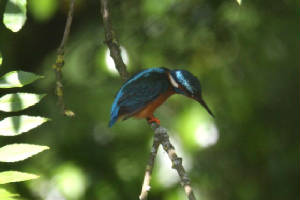 kingfisher_finisk_16062009_img_3673_small.jpg