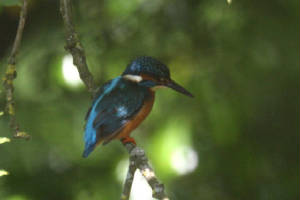 kingfisher_finisk_16062009_img_3680_small.jpg