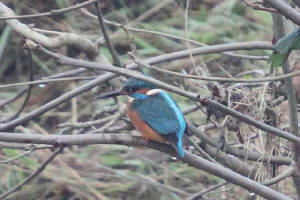 kingfisher_portlaw_14012010_img_2766_small.jpg