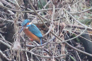 kingfisher_portlaw_14012010_img_2785_small.jpg