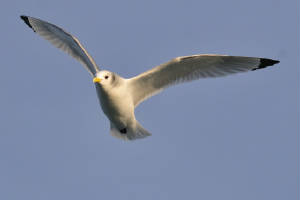 kittiwake_am_08012012.jpg