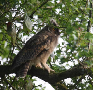 leowl_nrvillierstown_13062012_img_8777_medium.jpg
