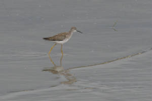 lesseryellowlegs01.jpg