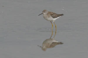 lesseryellowlegs02.jpg