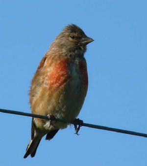 linnet_admale_ramhd_08082009_p1010235edit.jpg
