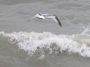littlegull_helvick_28oct2004.jpg