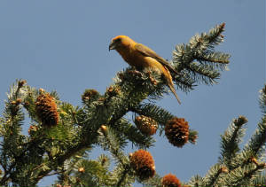 male1405_crossbill_carrignagour_14052012.jpg