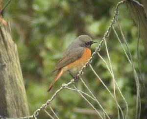 redstart4_brownstown_150406.jpg