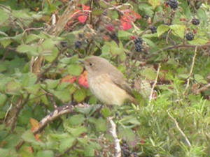 redstart_helvick_oct2004.jpg