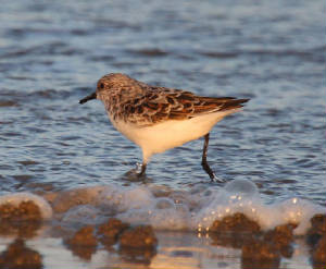sanderling_ballinclamper_28040212_dc_img_4563_medium.jpg